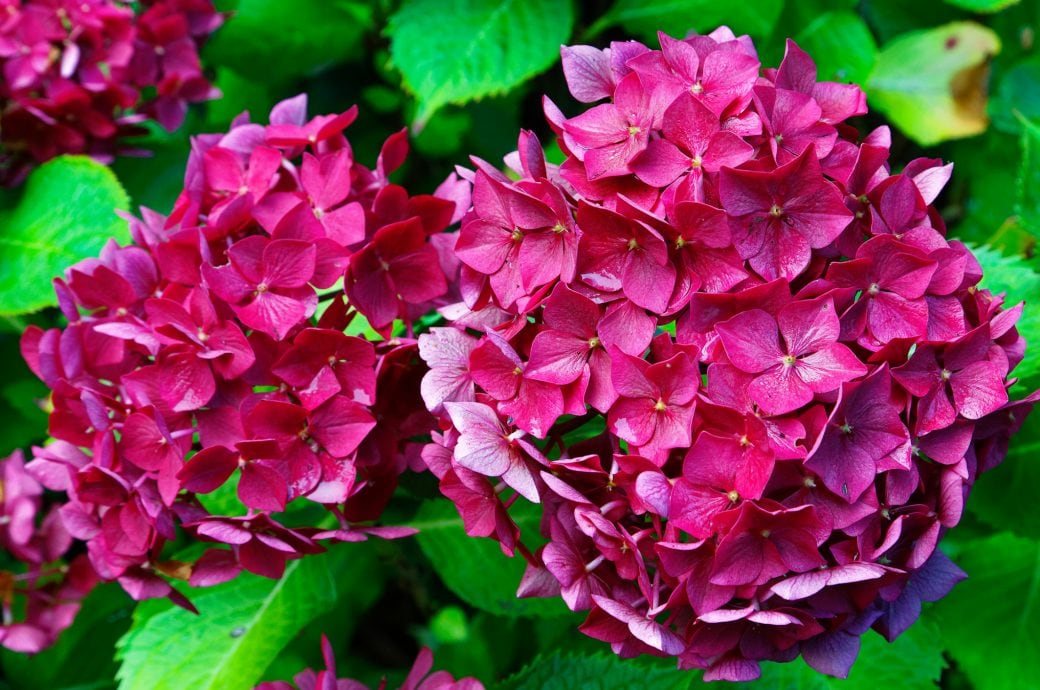 Wandfarbe hortensie