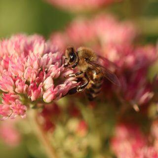 Wegen der Bienen soll laut Händlern bei Hobbygärtnern die Nachfrage nach Saamengut und Jungpflanzen steigen