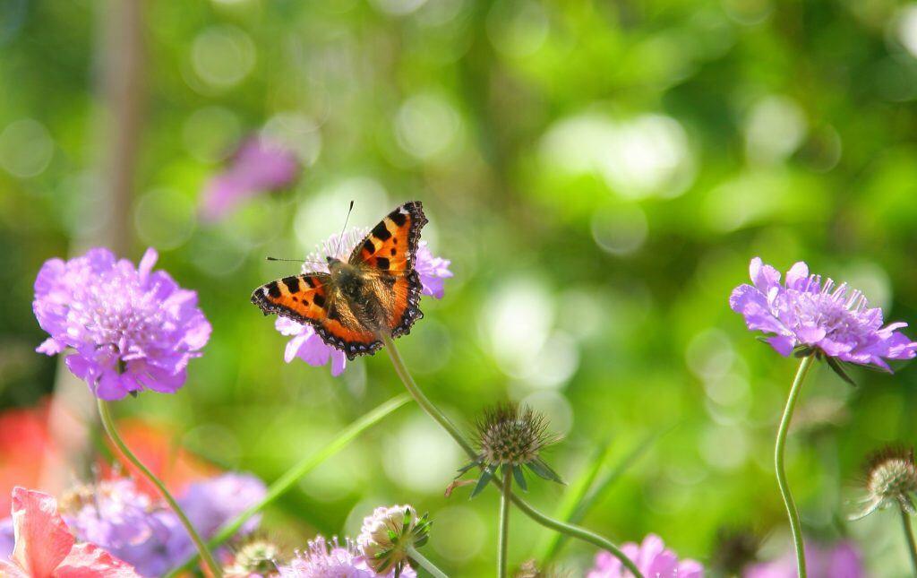 Skabiose-Blüten ziehen Schmetterlinge magisch an