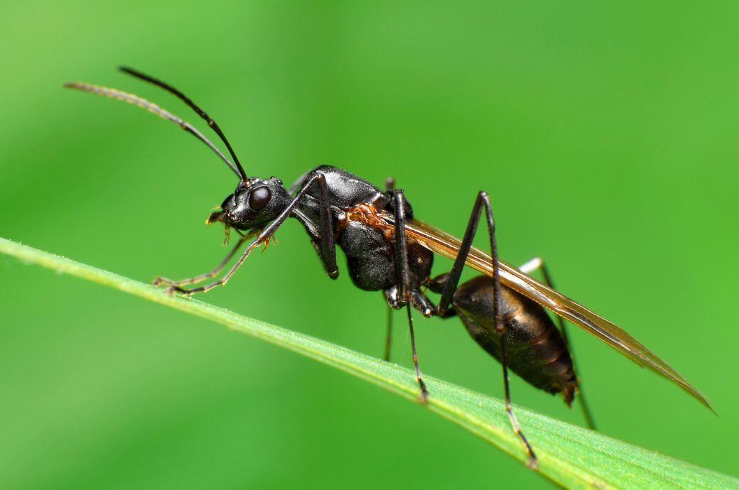 So bekämpfen Sie fliegende Ameisen ohne Insektizide - myHOMEBOOK