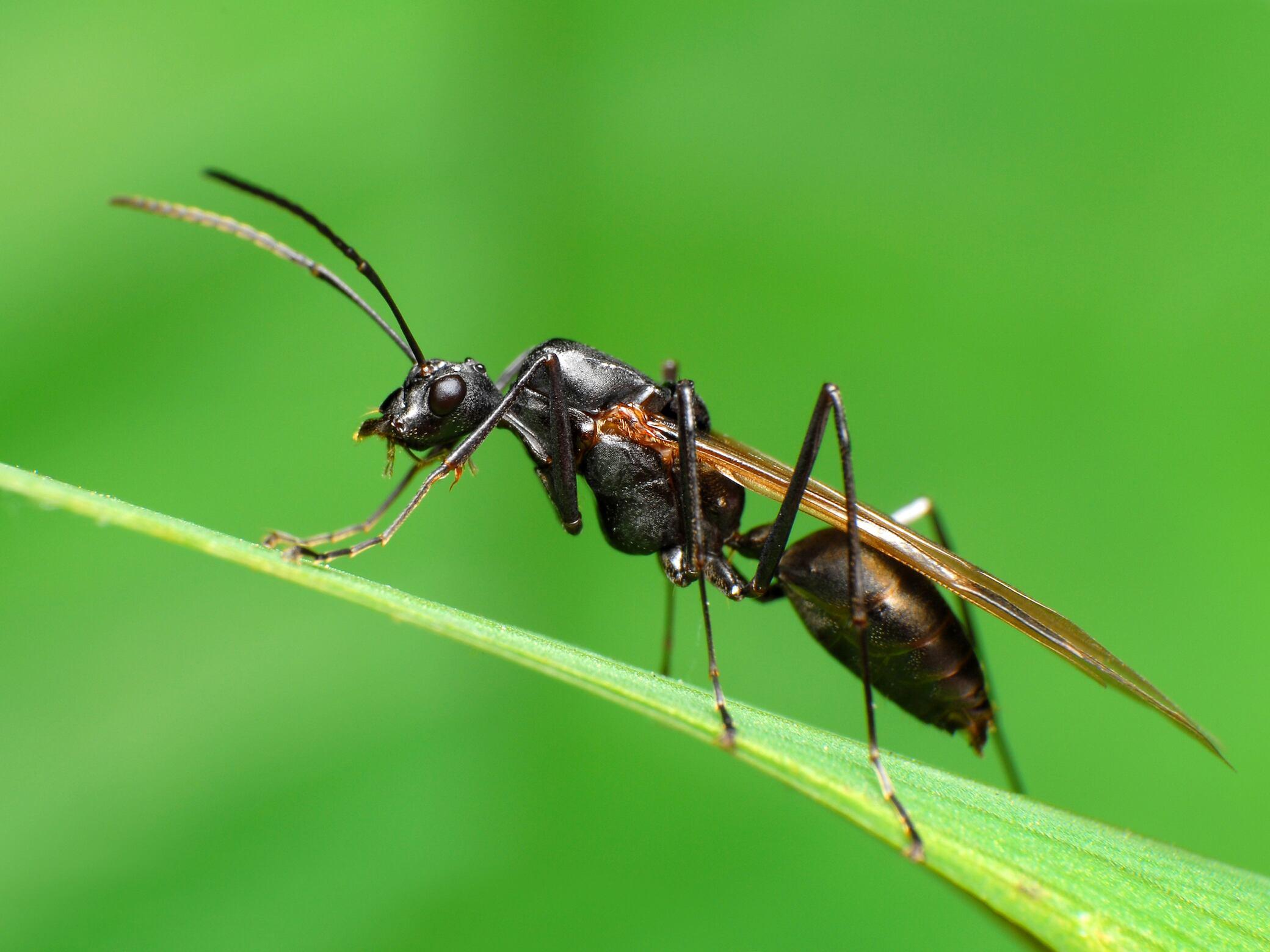 So bekämpfen Sie fliegende Ameisen ohne Insektizide