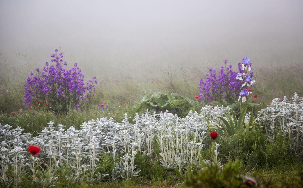 Die Blüte ist violett, die Blätter des Silberblatts werden mit der Zeit durchsichtig