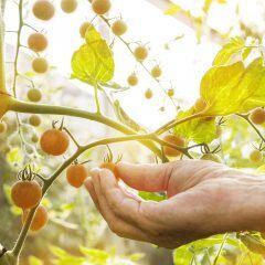 Tomaten sind nicht nur lecker, sondern schützen auch vor Mücken