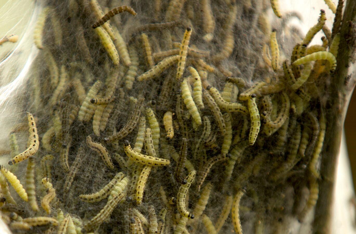 Was tun mit aufgesammelten Schwammspinner-Raupen?