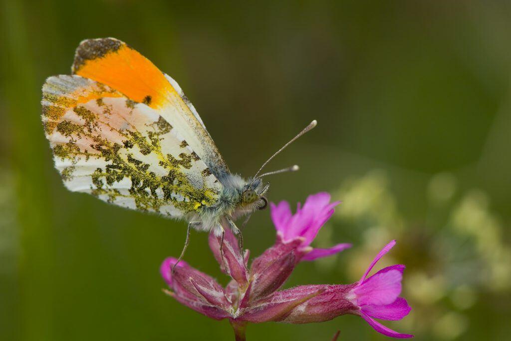 Ein Aurorafalter hat orange leuchtende Flügelspitzen