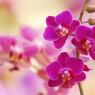 Orchideen (Phalaenopsis)