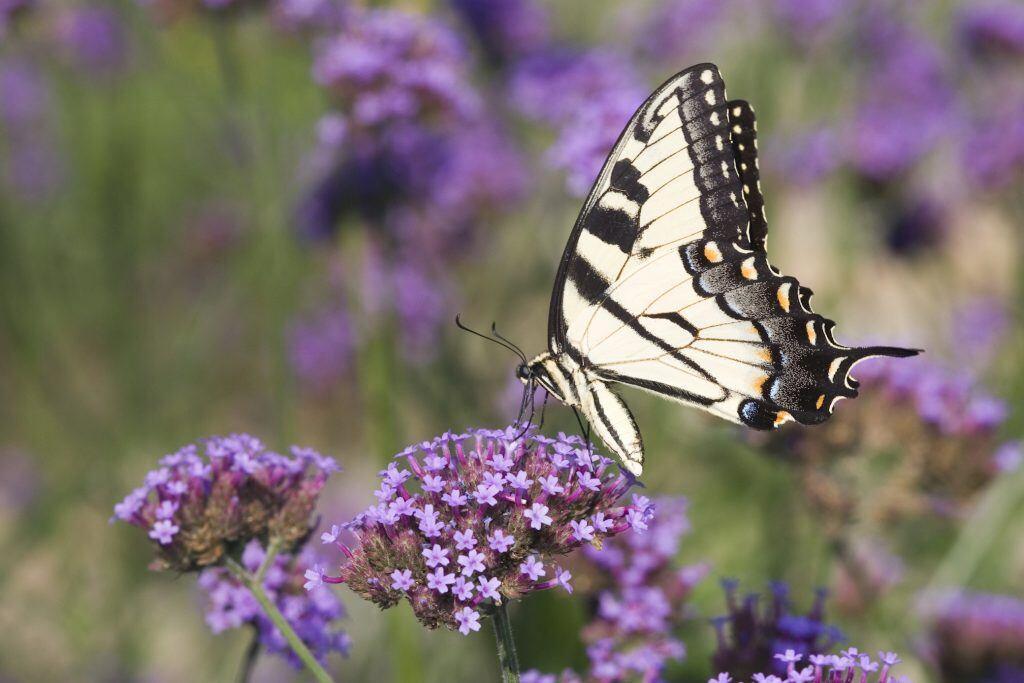 Östlicher Tigerschwalbenschwanz auf violetten Blüten einer Verbene-Pflanze