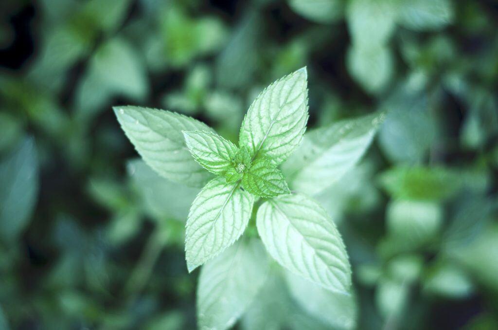 Pfefferminze (Mentha x piperita)