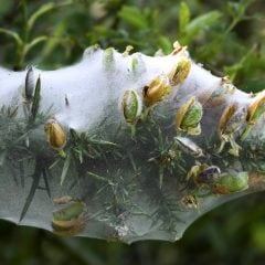 Gespinstmotten