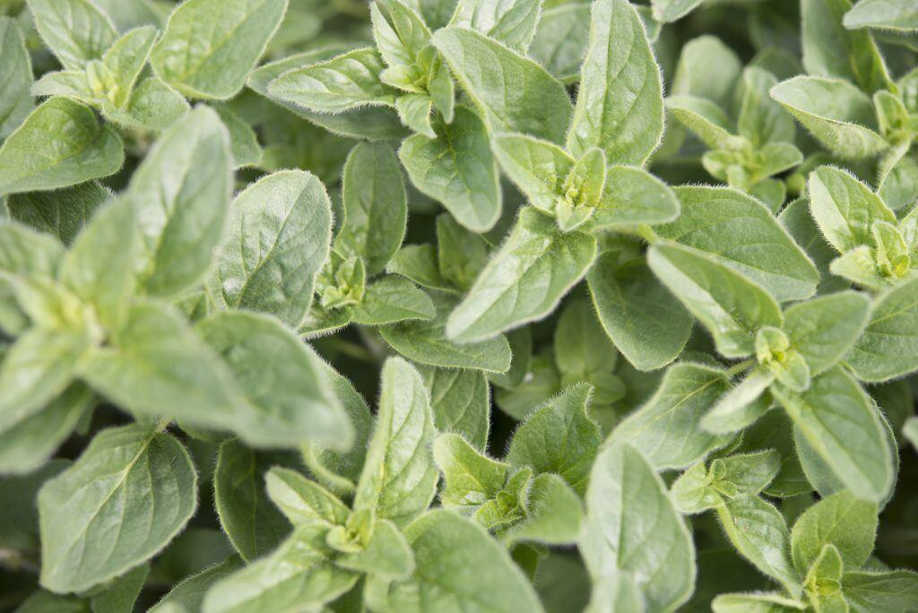 Die Würz- und Heilpflanze Oregano ist auch als Dorst, Wohlgemut oder Wilder Majoran bekannt