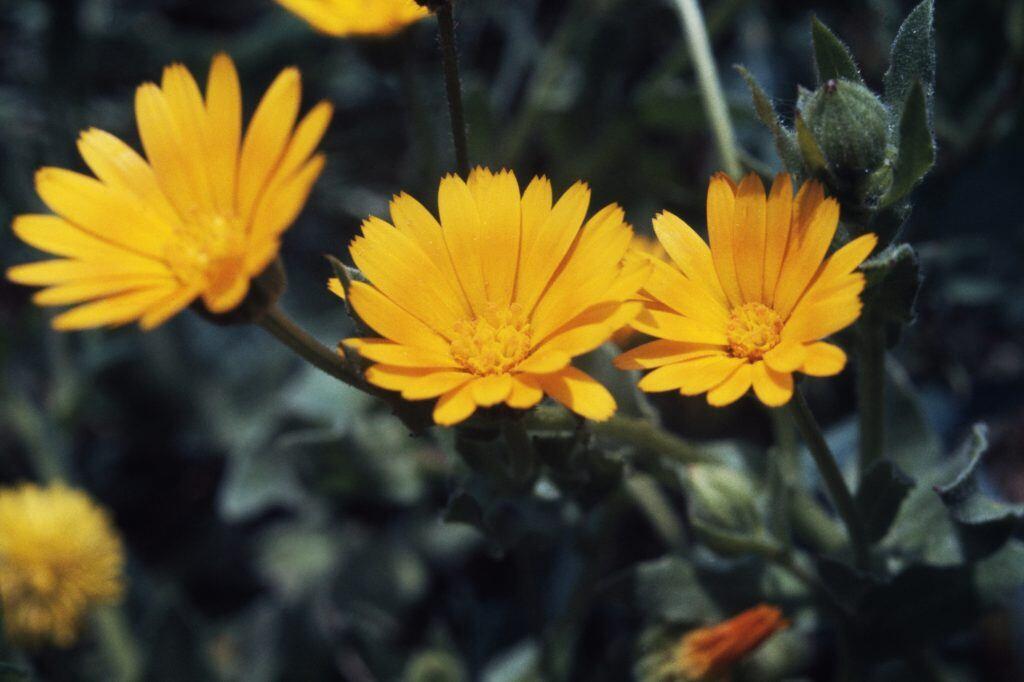 Diese Pflanzen helfen gegen Mücken, Milben und Pilze