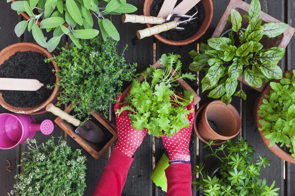 Kräuter werden in Töpfe gepflanzt