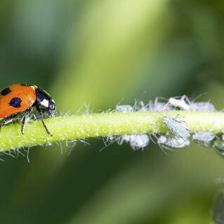 Marienkäfer frisst Blattläuse