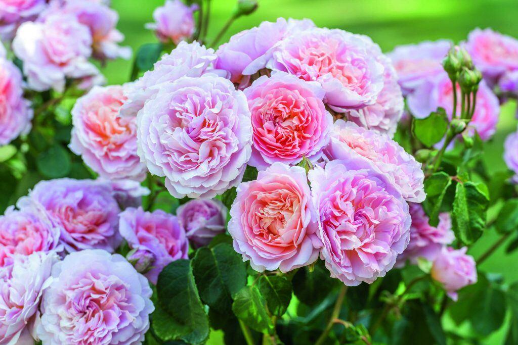 Eustacia Vye ist der Star unter den neuen Rosen-Sorten