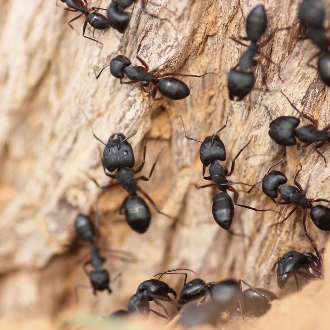 Mit einfachen Hausmitteln und Tricks kann man Ameisen loswerden, ohne sie zu töten