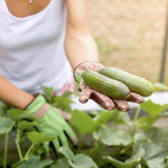 Gurken-Ernte im Garten