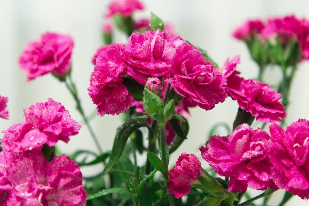 Die Bedeutung von Nelken ähnelt der von Rosen, weswegen sie auch als gute Alternative dienen