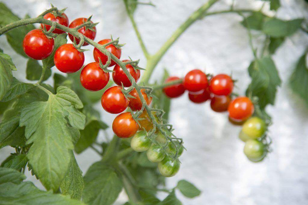 Tipps und Tricks: So ziehen Sie sich selbst Tomaten - myHOMEBOOK