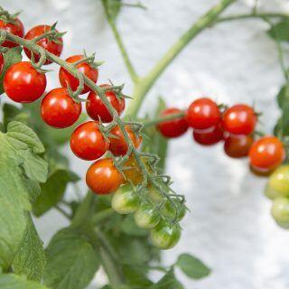 Mit einigen Tricks und Tipps kann man sich ganz einfach selbst Tomaten auf dem Balkon ziehen