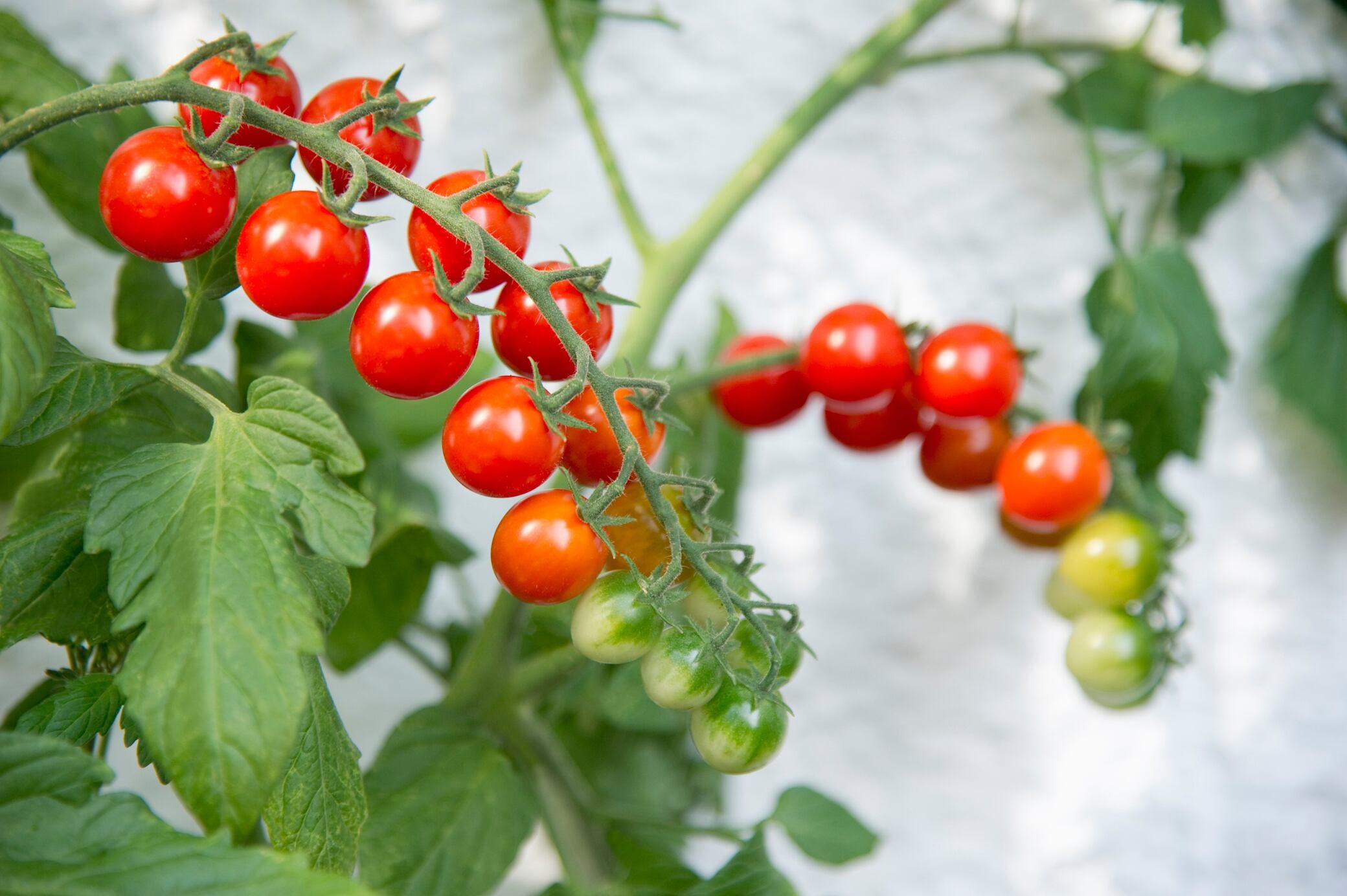 Mit diesen Tipps ziehen Sie ganz leicht selbst Tomaten auf dem Balkon