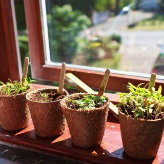 Bevor Setzlinge von der Fensterbank ins Freie versetzt werden, müssen sie an die kalten Temperaturen gewöhnt werden