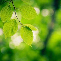Können Sie in diesem Quiz Baumarten nur anhand von Blättern erkennen?