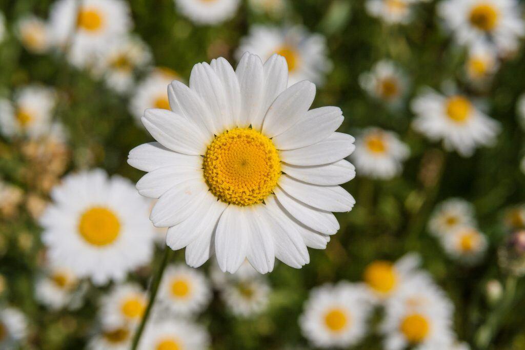 Margeriten bedeuten Natürlichkeit und Glück