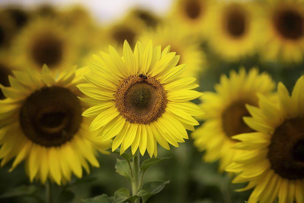 Sonnenblumen bedeuten Kraft und Glück und sorgen für positive Stimmung