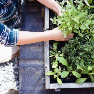 Wichtige Pflegetipps zu Bewässerung und Düngen von Kräutern im Garten