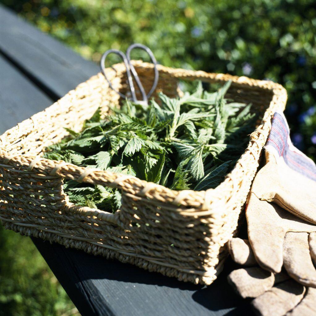 Brennnessel kann für selbstgemachte Pflanzenjauche gesammelt werden.