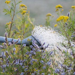 Neu gesetzte Pflanzen im Garten brauchen im ersten Jahr mehr Wasser und Pflege