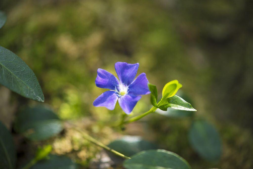 Das Kleine Immergrün ist ein beliebter Bodendecker in Gärten und Parks