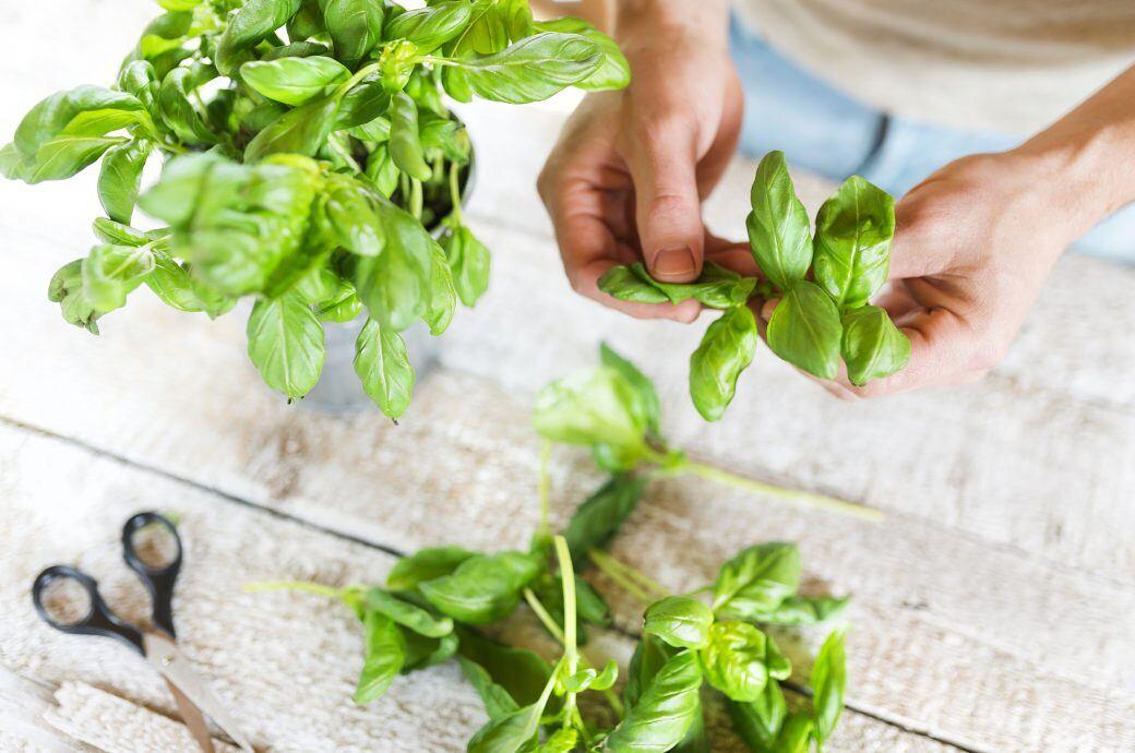 Man muss Basilikum richtig pflücken, um die Aromen zu schützen und das Wachstum nicht zu beeinträchtigen