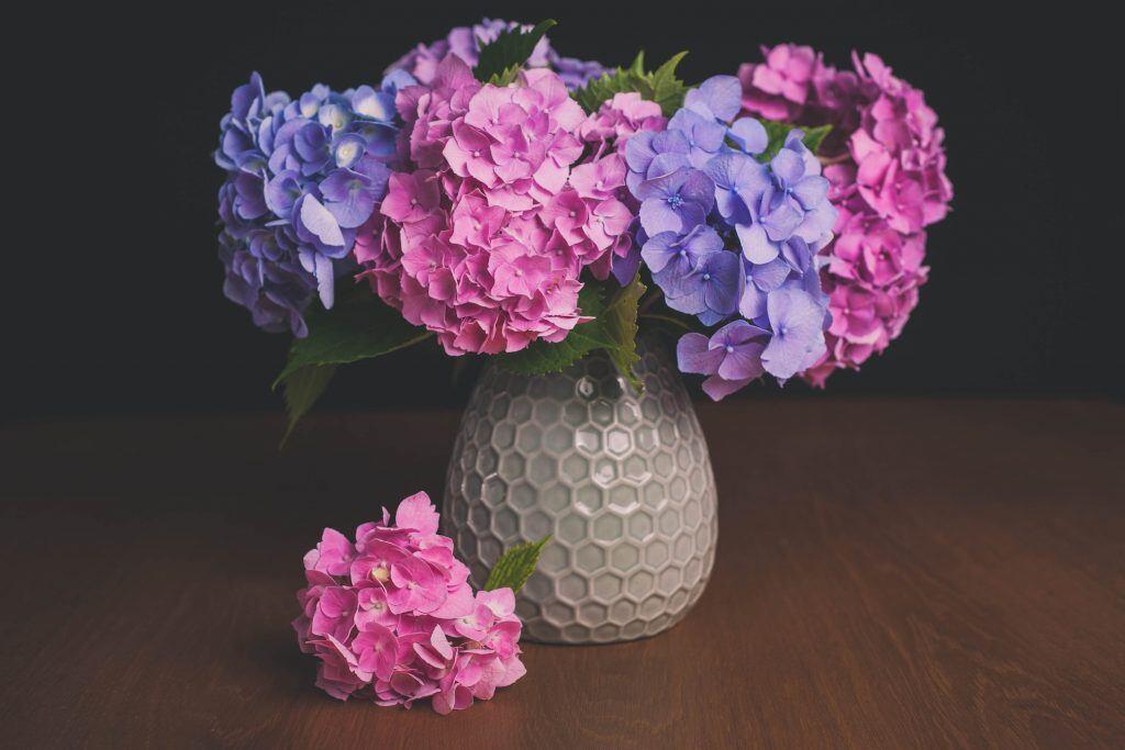 Hortensien bedeuten Eitelkeit und gleichzeitig Schönheit