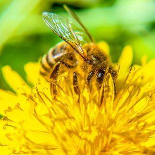 Löwenzahn ist als Pflanze im Garten oder auf dem Balkon die beste Hilfe für Bienen