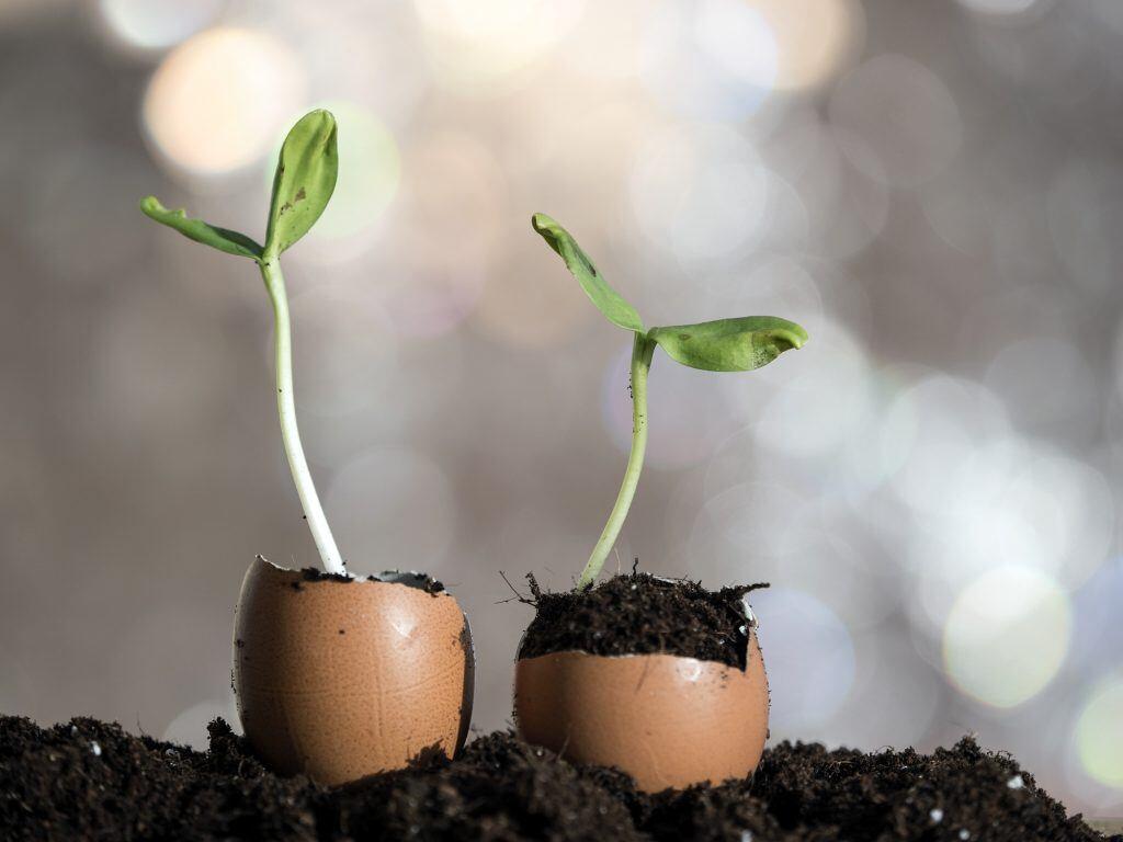 Zwei Eierschalen werden als Anzuchtsgefäße für Pflanzen genutzt