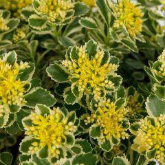 Bei der diesjährigen Chelsea Flower Show wurde die Sedum Atlantis zur Pflanze des Jahres 2019 ernannt