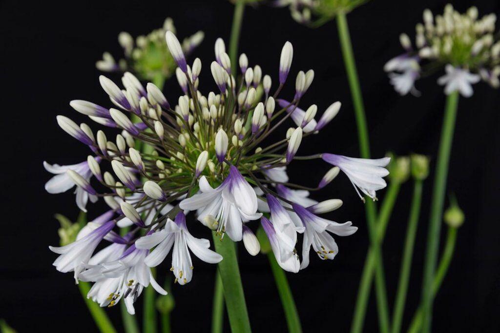 Bei der diesjährigen Chelsea Flower Show landete die Agapanthus Fireworks auf dem dritten Platz bei der Wahl der Pflanze des Jahres 2019