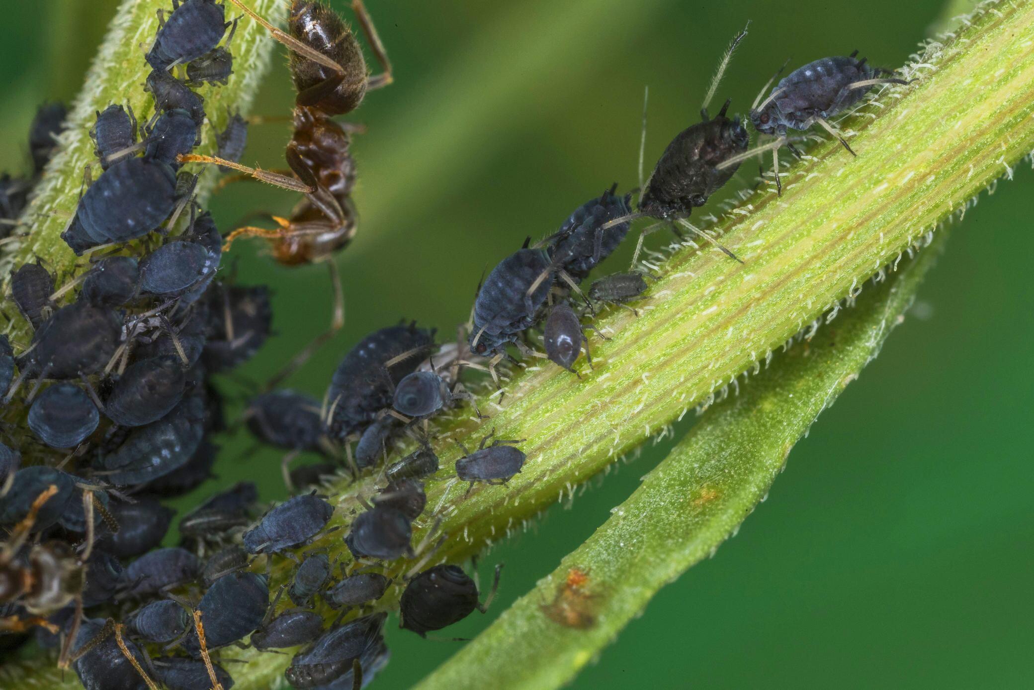 Mit diesen Insekten bekämpfen Sie Blattläuse gezielt und effektiv