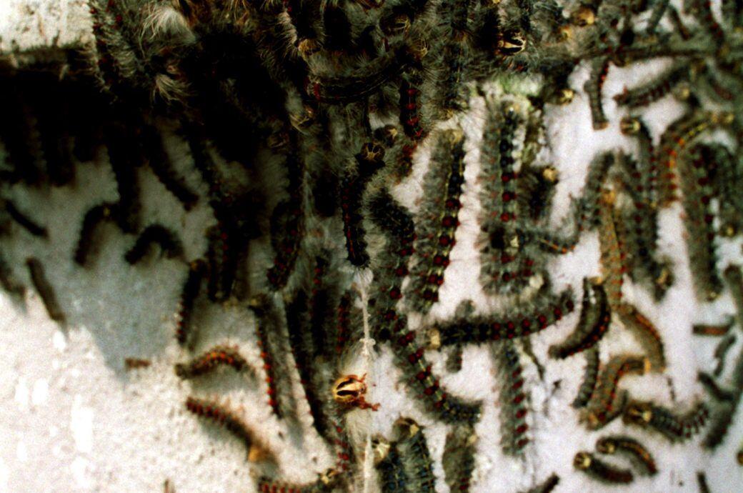 Schwammspinner-Raupen – was tun gegen die Raupen-Invasion?