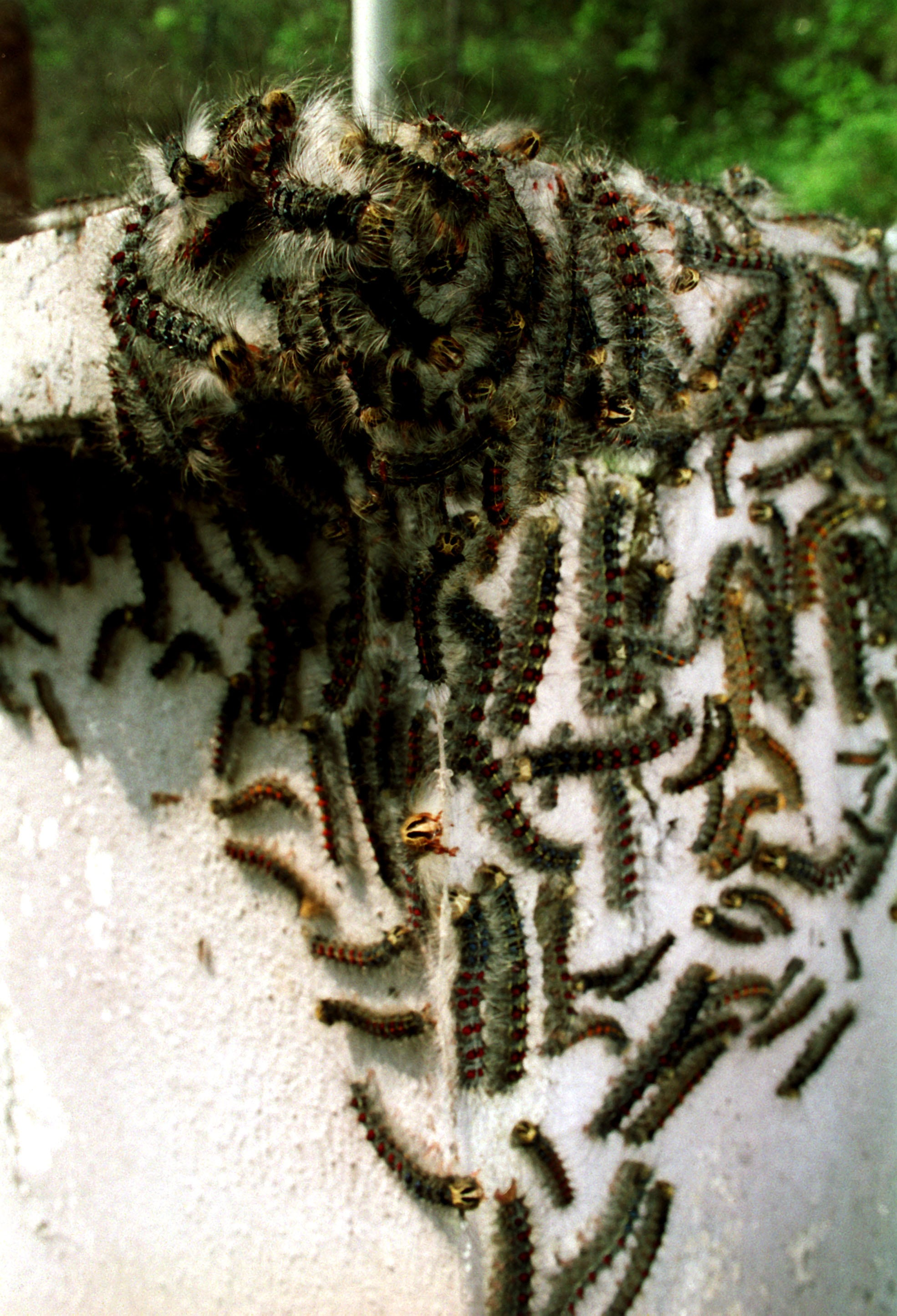 Was Sie bei einer Raupen-Invasion tun können