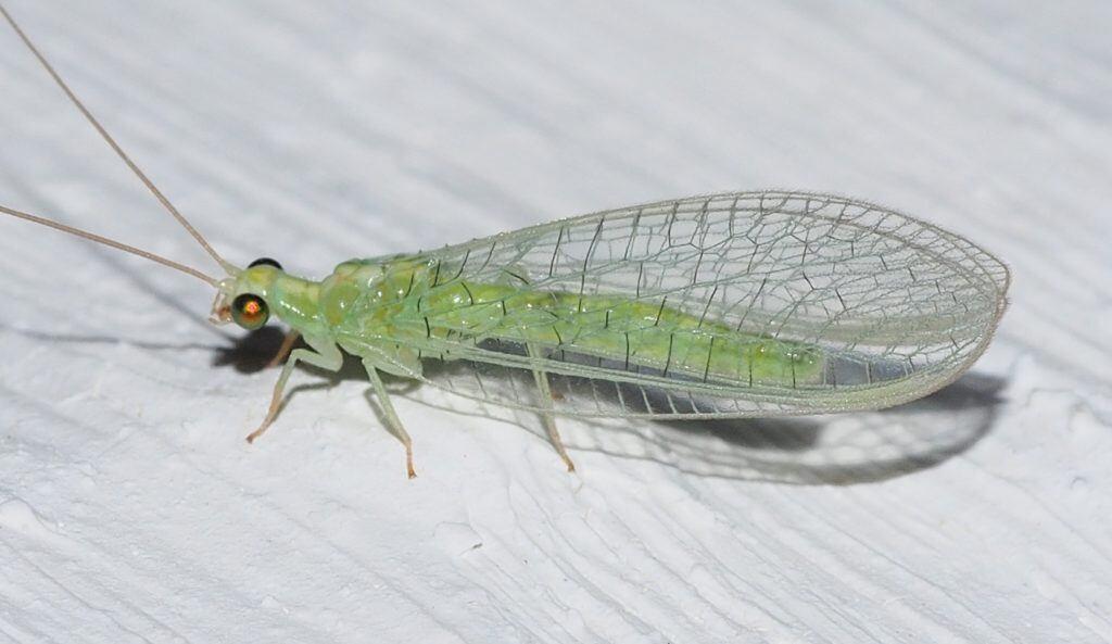 Florfliegen können gegen Schädlinge eingesetzt werden