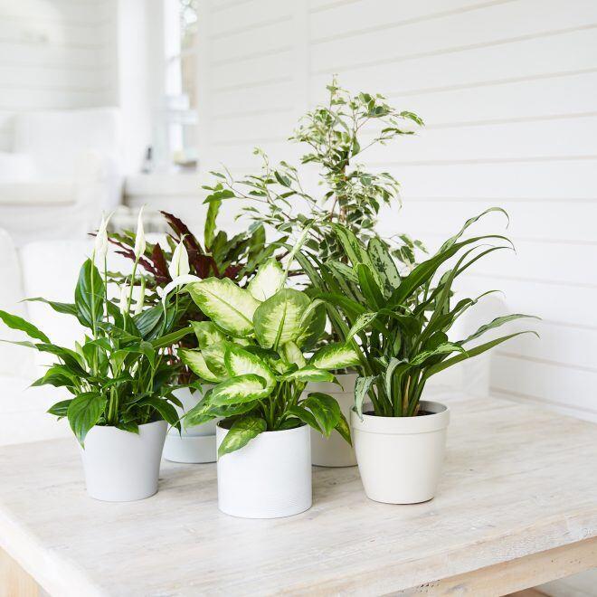 myHOMEBOOK-Leser haben die beliebteste Zimmerpflanze Deutschlands gewählt