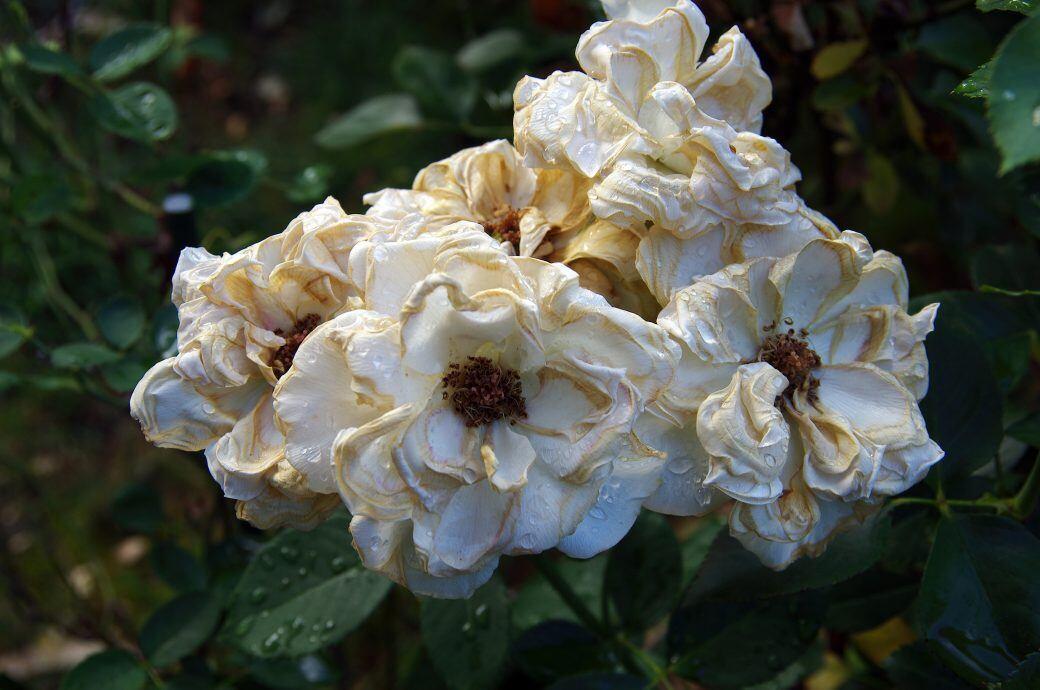 Durch den Schnitt von welken Blüten kann man eine erneute Blüte fördern