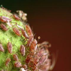 Hausmittel wie Rhabarberbrühe helfen gegen Blattläuse