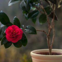 Darauf müssen Sie achten, wenn Sie Rosen in einen Kübel oder Blumentopf pflanzen wollen