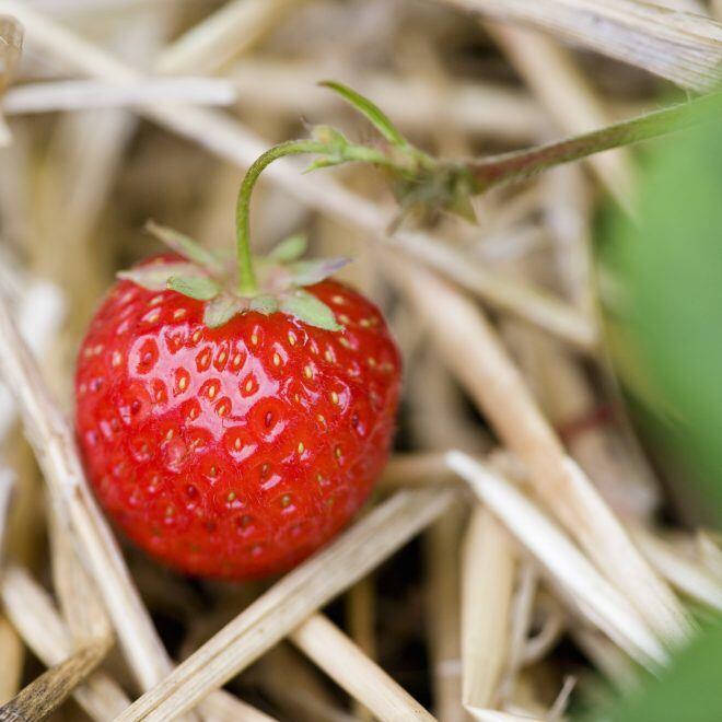 Mit Stroh kann man Erdbeeren vor Fäulnis und Schecken schützen
