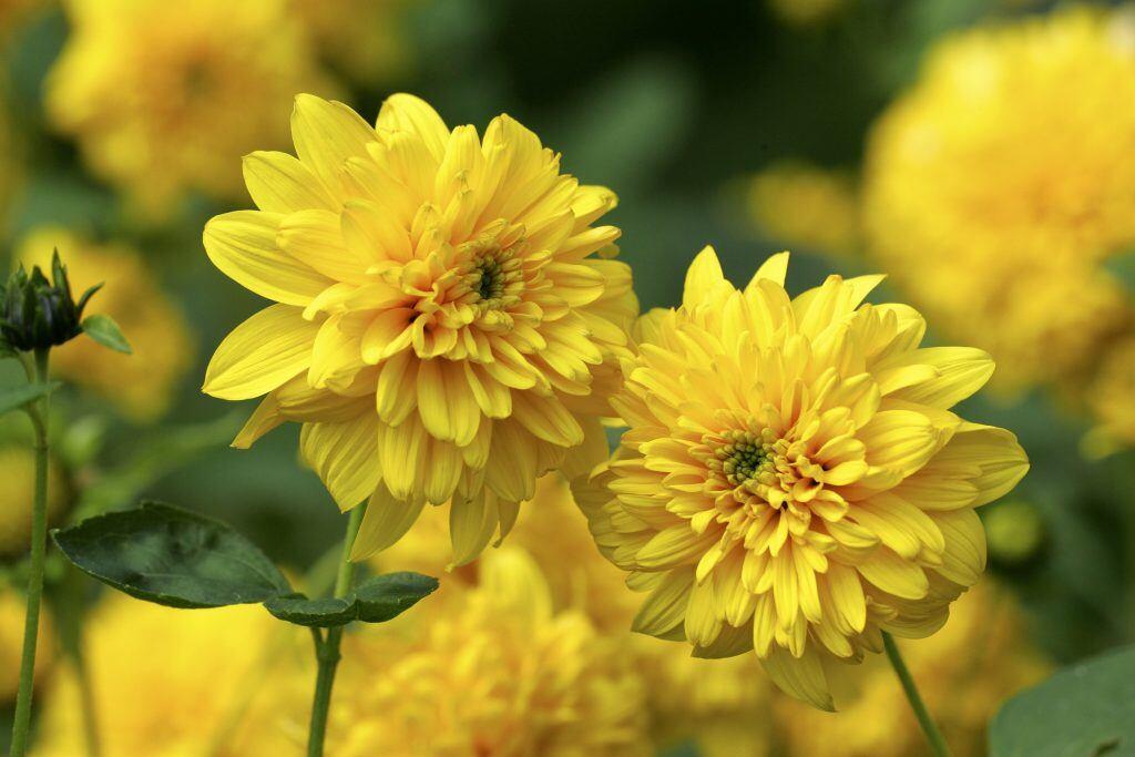 Super Blumen für den Garten: Was blüht im August? - myHOMEBOOK #TD_26