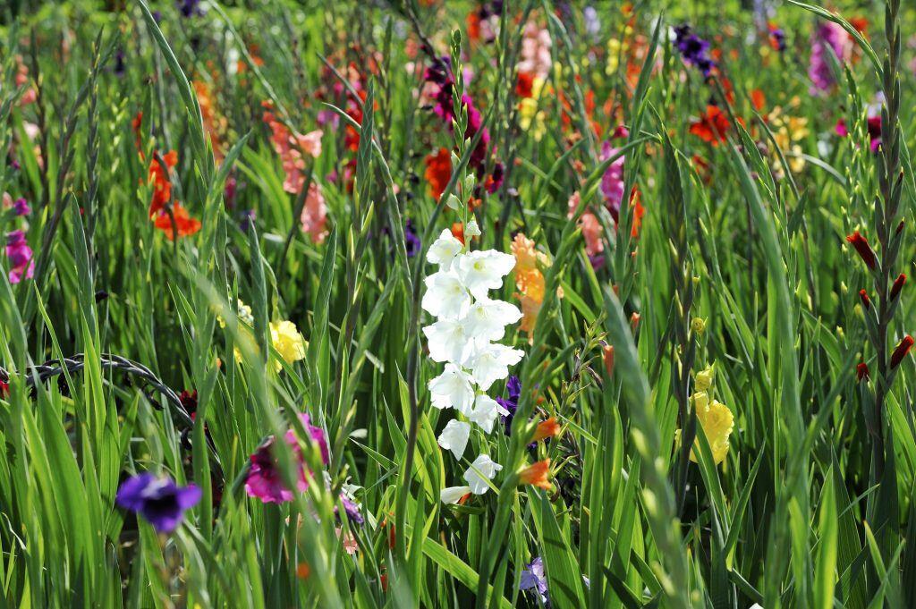 Geliebte Blumen für den Garten: Was blüht im August? - myHOMEBOOK #PC_95