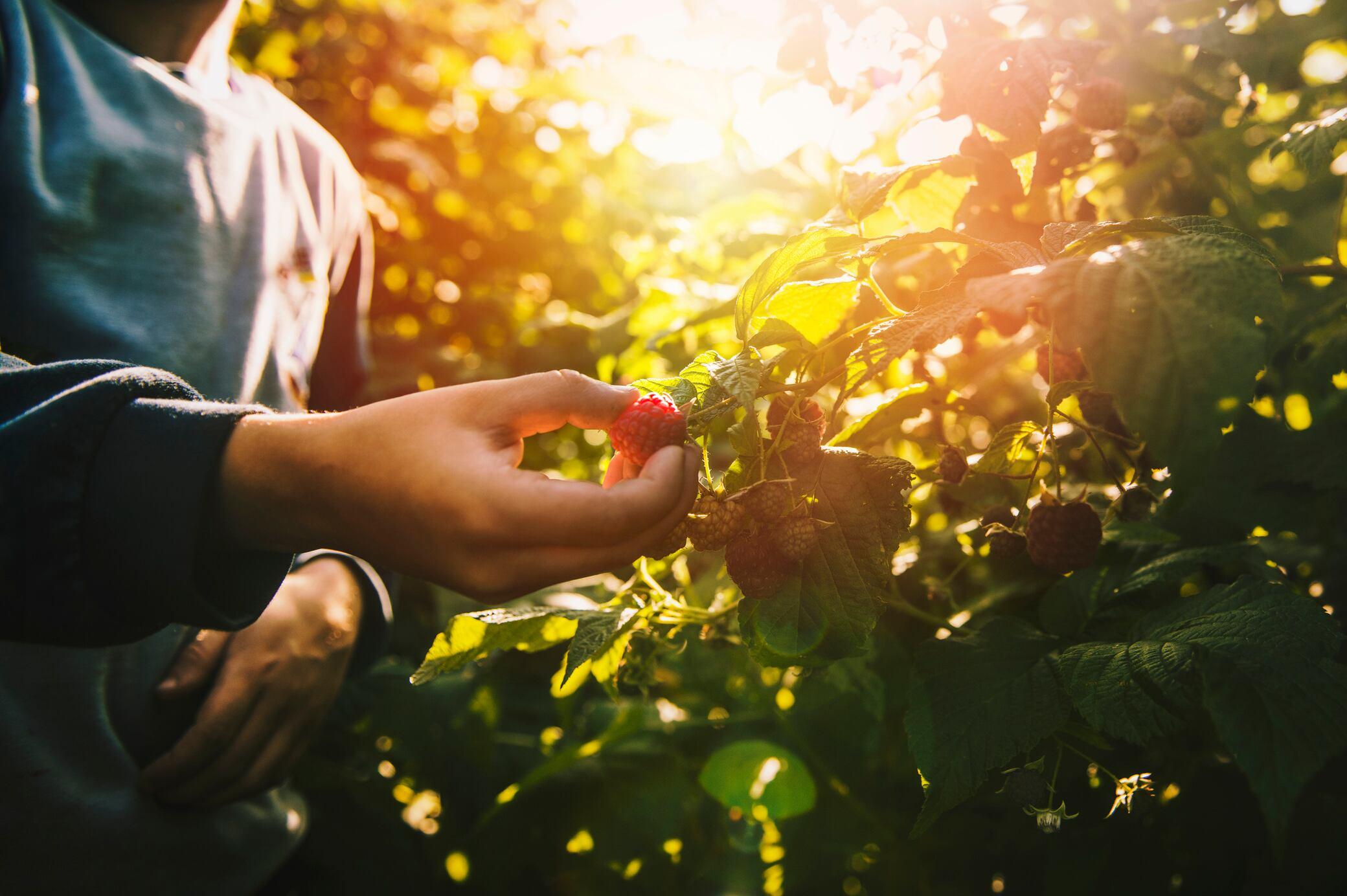 Warum Sie Früchte morgens und Salat besser abends ernten sollten